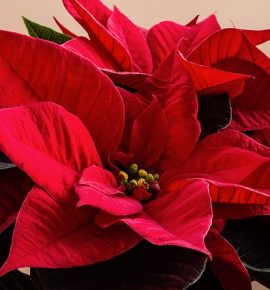 Poinsettia's- Fall
