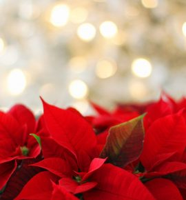 Poinsettia Fundraiser for Student Accounts